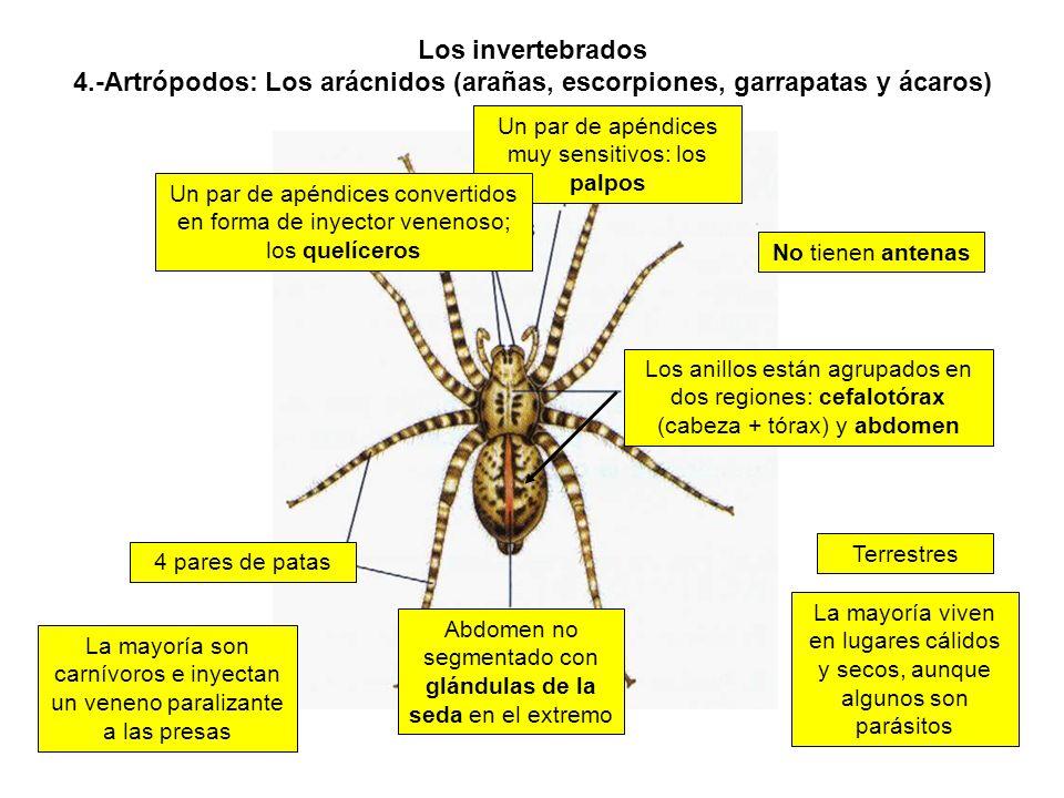 Los invertebrados 4.-Artrópodos: Los arácnidos (arañas, escorpiones, garrapatas y ácaros) Los anillos están agrupados en dos regiones: cefalotórax (cabeza + tórax) y abdomen La mayoría viven en lugares cálidos y secos, aunque algunos son parásitos Un par de apéndices muy sensitivos: los palpos Un par de apéndices convertidos en forma de inyector venenoso; los quelíceros 4 pares de patas Abdomen no segmentado con glándulas de la seda en el extremo La mayoría son carnívoros e inyectan un veneno paralizante a las presas No tienen antenas Terrestres