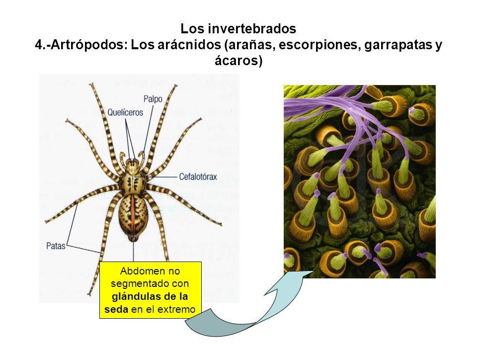 Los invertebrados 4.-Artrópodos: Los arácnidos (arañas, escorpiones, garrapatas y ácaros) Abdomen no segmentado con glándulas de la seda en el extremo