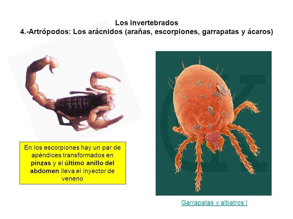 Los invertebrados 4.-Artrópodos: Los arácnidos (arañas, escorpiones, garrapatas y ácaros) En los escorpiones hay un par de apéndices transformados en pinzas y el último anillo del abdomen lleva el inyector de veneno Garrapatas y albatros I