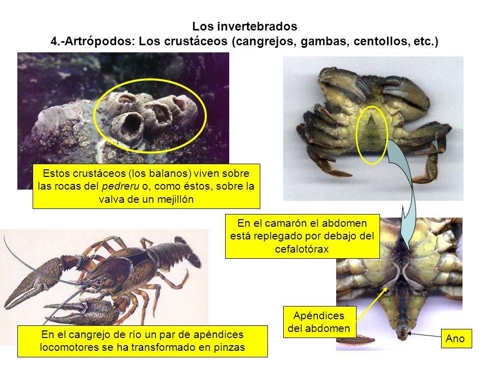 Los invertebrados 4.-Artrópodos: Los crustáceos (cangrejos, gambas, centollos, etc.) En el cangrejo de río un par de apéndices locomotores se ha transformado en pinzas En el camarón el abdomen está replegado por debajo del cefalotórax Estos crustáceos (los balanos) viven sobre las rocas del pedreru o, como éstos, sobre la valva de un mejillón Ano Apéndices del abdomen