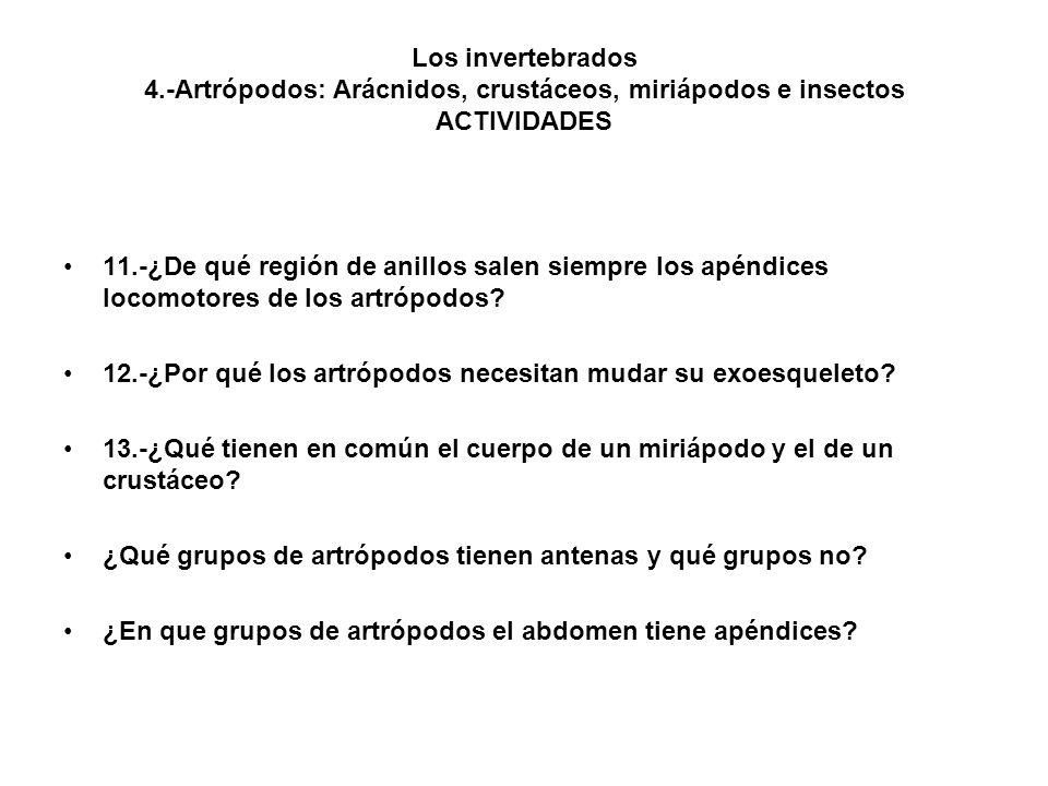 Los invertebrados 4.-Artrópodos: Arácnidos, crustáceos, miriápodos e insectos ACTIVIDADES 11.-¿De qué región de anillos salen siempre los apéndices locomotores de los artrópodos.