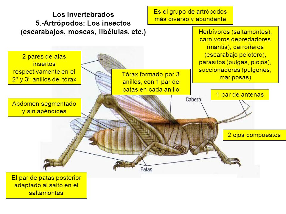 Los invertebrados 5.-Artrópodos: Los insectos (escarabajos, moscas, libélulas, etc.) Es el grupo de artrópodos más diverso y abundante Abdomen segmentado y sin apéndices 1 par de antenas 2 pares de alas insertos respectivamente en el 2º y 3º anillos del tórax Tórax formado por 3 anillos, con 1 par de patas en cada anillo El par de patas posterior adaptado al salto en el saltamontes 2 ojos compuestos Herbívoros (saltamontes), carnívoros depredadores (mantis), carroñeros (escarabajo pelotero), parásitos (pulgas, piojos), succionadores (pulgones, mariposas)