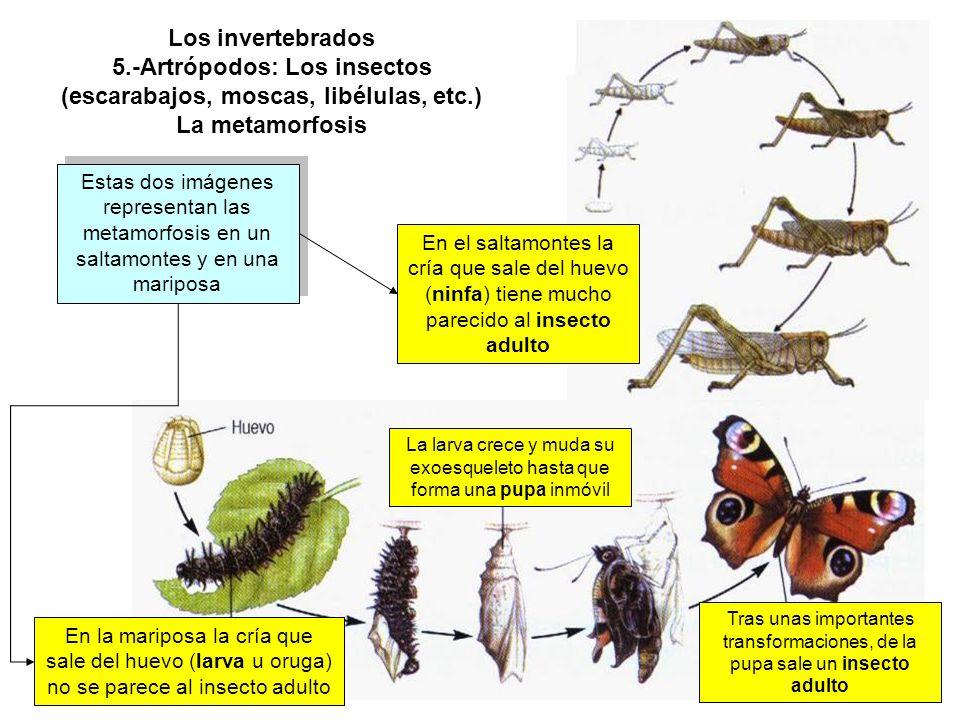 Los invertebrados 5.-Artrópodos: Los insectos (escarabajos, moscas, libélulas, etc.) La metamorfosis Estas dos imágenes representan las metamorfosis en un saltamontes y en una mariposa En la mariposa la cría que sale del huevo (larva u oruga) no se parece al insecto adulto En el saltamontes la cría que sale del huevo (ninfa) tiene mucho parecido al insecto adulto La larva crece y muda su exoesqueleto hasta que forma una pupa inmóvil Tras unas importantes transformaciones, de la pupa sale un insecto adulto