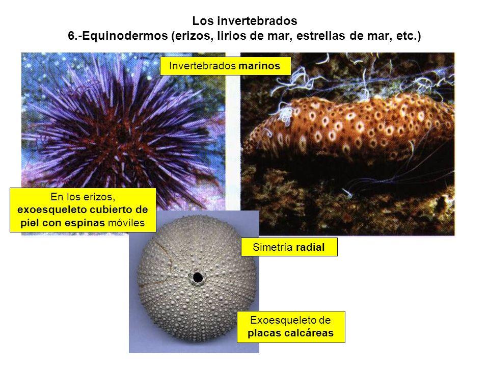 Los invertebrados 6.-Equinodermos (erizos, lirios de mar, estrellas de mar, etc.) Invertebrados marinos En los erizos, exoesqueleto cubierto de piel con espinas móviles Exoesqueleto de placas calcáreas Simetría radial