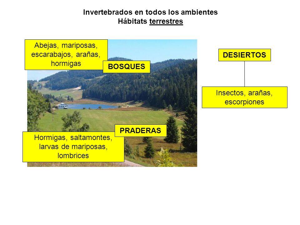 Invertebrados en todos los ambientes Hábitats terrestres Hormigas, saltamontes, larvas de mariposas, lombrices DESIERTOS PRADERAS Abejas, mariposas, escarabajos, arañas, hormigas BOSQUES Insectos, arañas, escorpiones