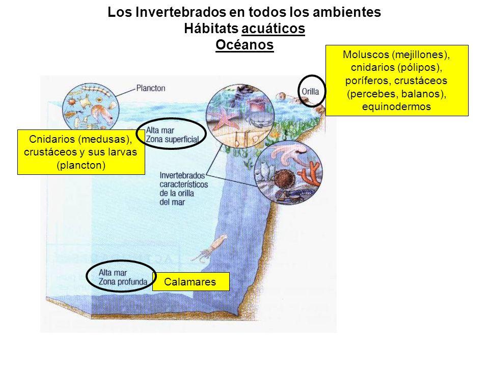 Los Invertebrados en todos los ambientes Hábitats acuáticos Océanos Moluscos (mejillones), cnidarios (pólipos), poríferos, crustáceos (percebes, balanos), equinodermos Cnidarios (medusas), crustáceos y sus larvas (plancton) Calamares
