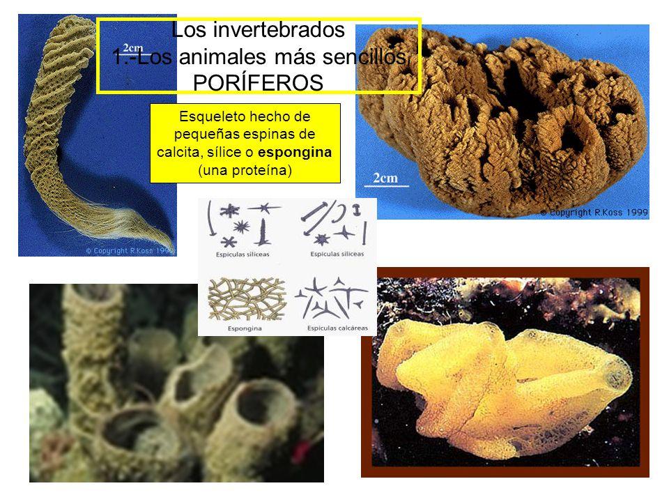 Los invertebrados 1.-Los animales más sencillos PORÍFEROS Esqueleto hecho de pequeñas espinas de calcita, sílice o espongina (una proteína)