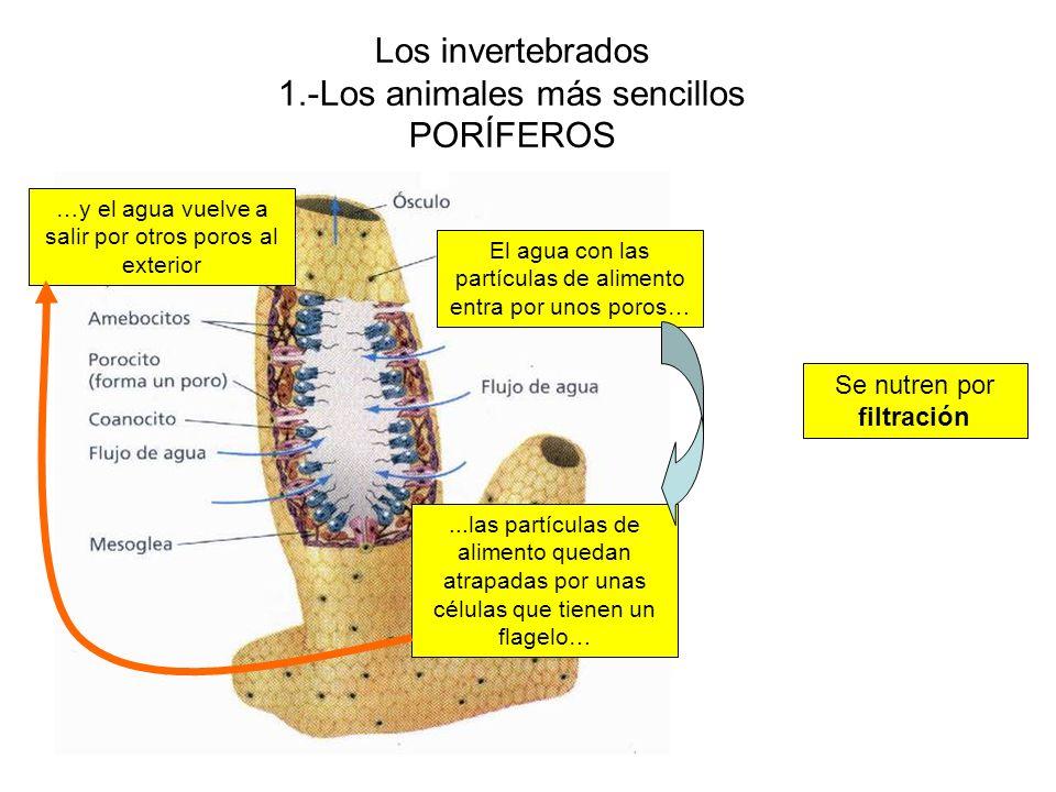 Los invertebrados 1.-Los animales más sencillos PORÍFEROS Se nutren por filtración El agua con las partículas de alimento entra por unos poros…...las