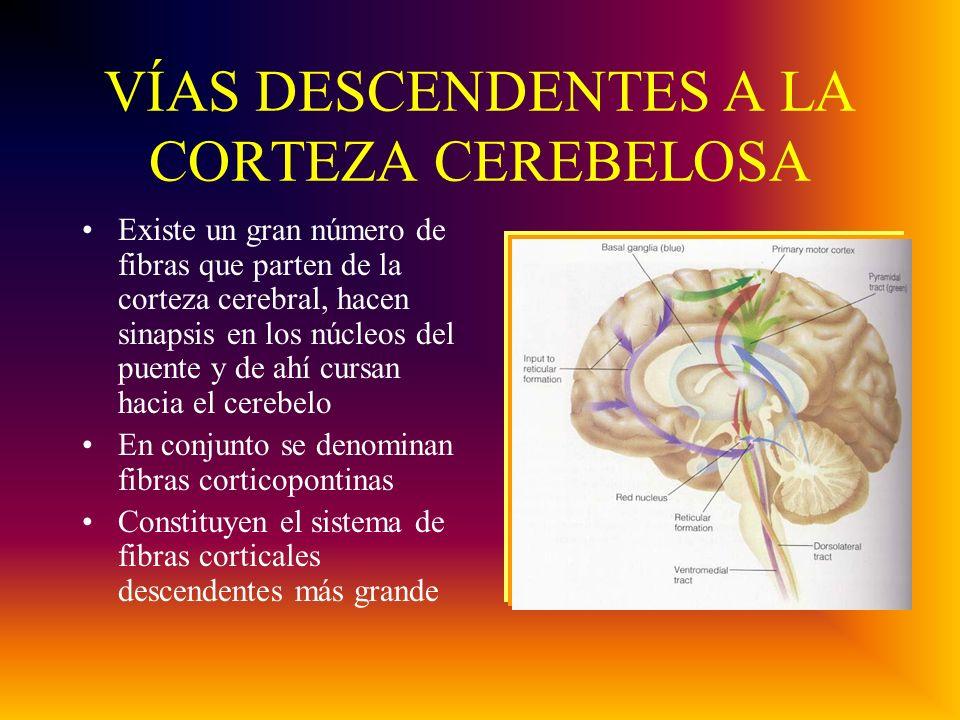 VÍAS DESCENDENTES A LA CORTEZA CEREBELOSA Existe un gran número de fibras que parten de la corteza cerebral, hacen sinapsis en los núcleos del puente y de ahí cursan hacia el cerebelo En conjunto se denominan fibras corticopontinas Constituyen el sistema de fibras corticales descendentes más grande