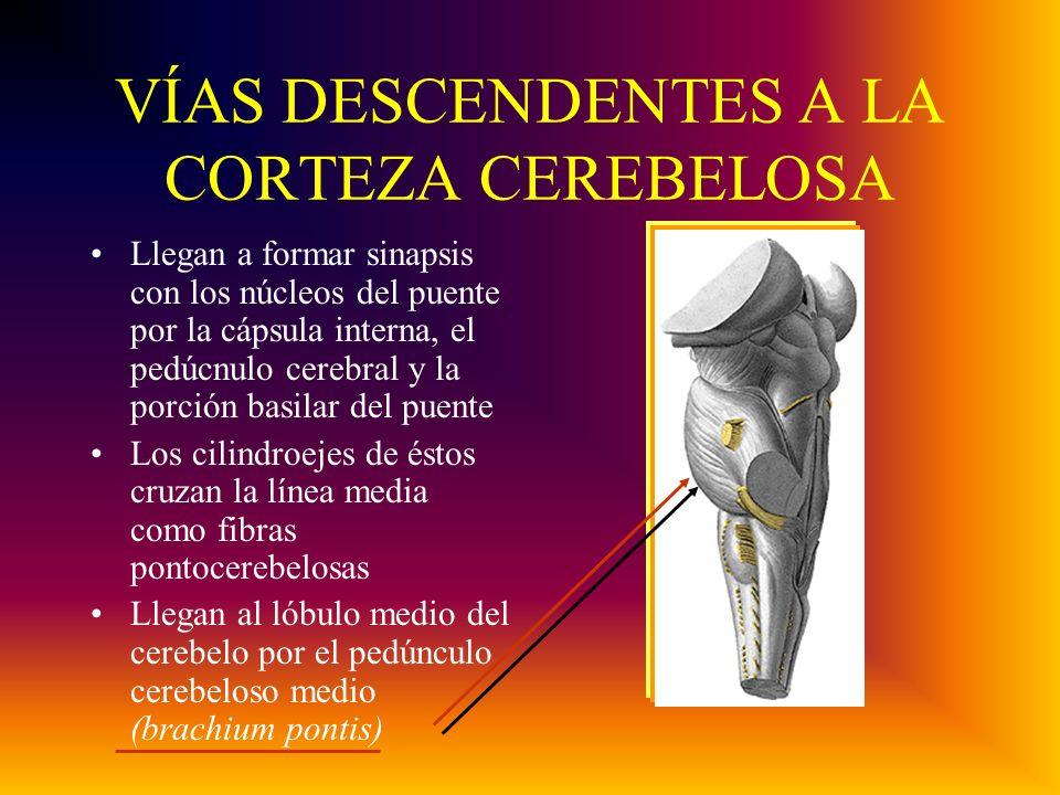 VÍAS DESCENDENTES A LA CORTEZA CEREBELOSA Llegan a formar sinapsis con los núcleos del puente por la cápsula interna, el pedúcnulo cerebral y la porción basilar del puente Los cilindroejes de éstos cruzan la línea media como fibras pontocerebelosas Llegan al lóbulo medio del cerebelo por el pedúnculo cerebeloso medio (brachium pontis)