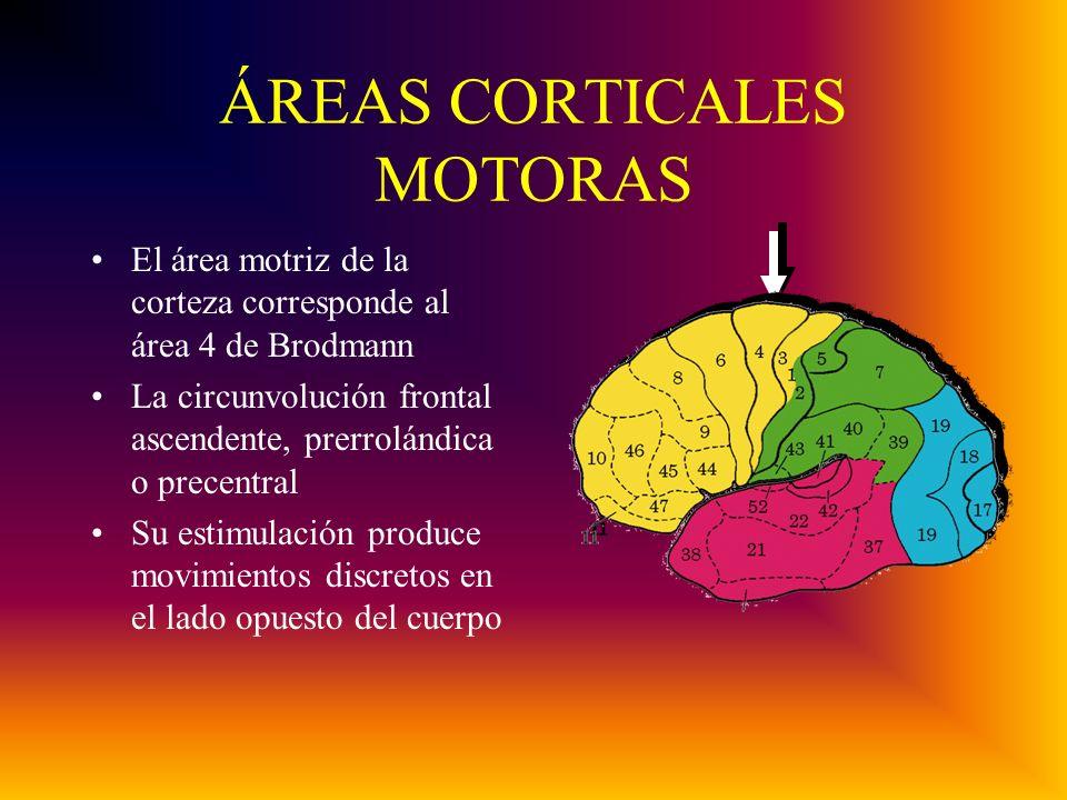 ÁREAS CORTICALES MOTORAS El área motriz de la corteza corresponde al área 4 de Brodmann La circunvolución frontal ascendente, prerrolándica o precentral Su estimulación produce movimientos discretos en el lado opuesto del cuerpo