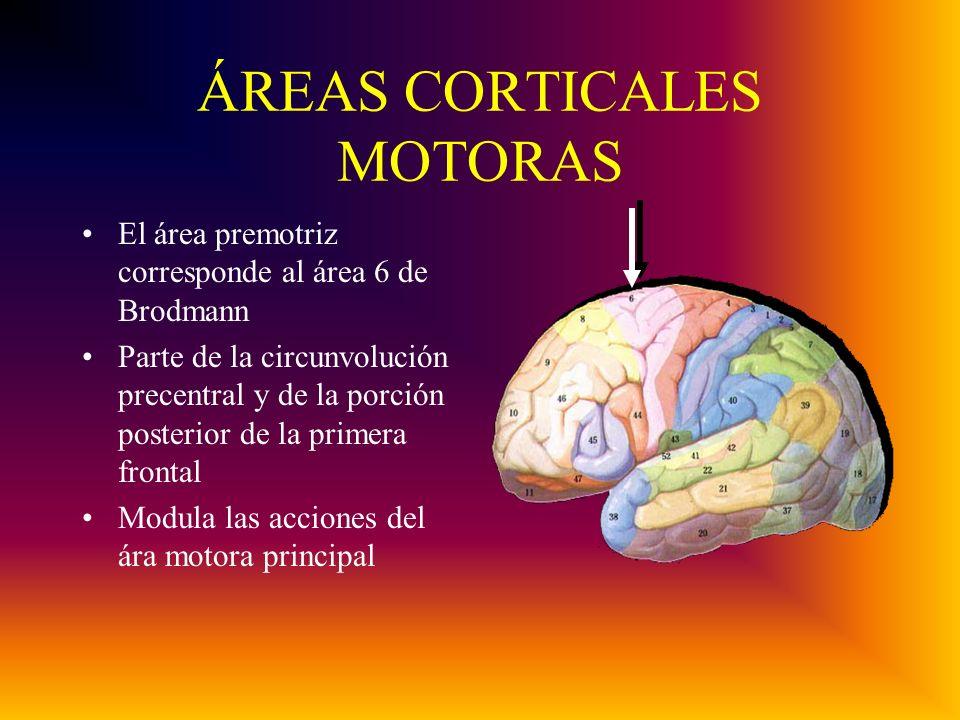 ÁREAS CORTICALES MOTORAS El área premotriz corresponde al área 6 de Brodmann Parte de la circunvolución precentral y de la porción posterior de la primera frontal Modula las acciones del ára motora principal
