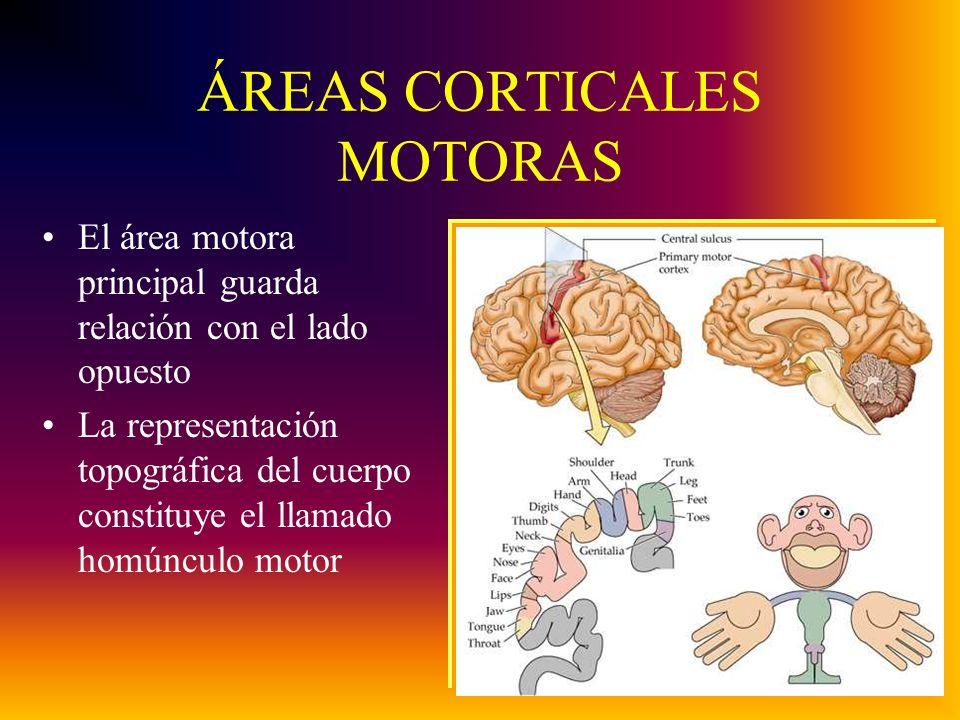 ÁREAS CORTICALES MOTORAS El área motora principal guarda relación con el lado opuesto La representación topográfica del cuerpo constituye el llamado homúnculo motor