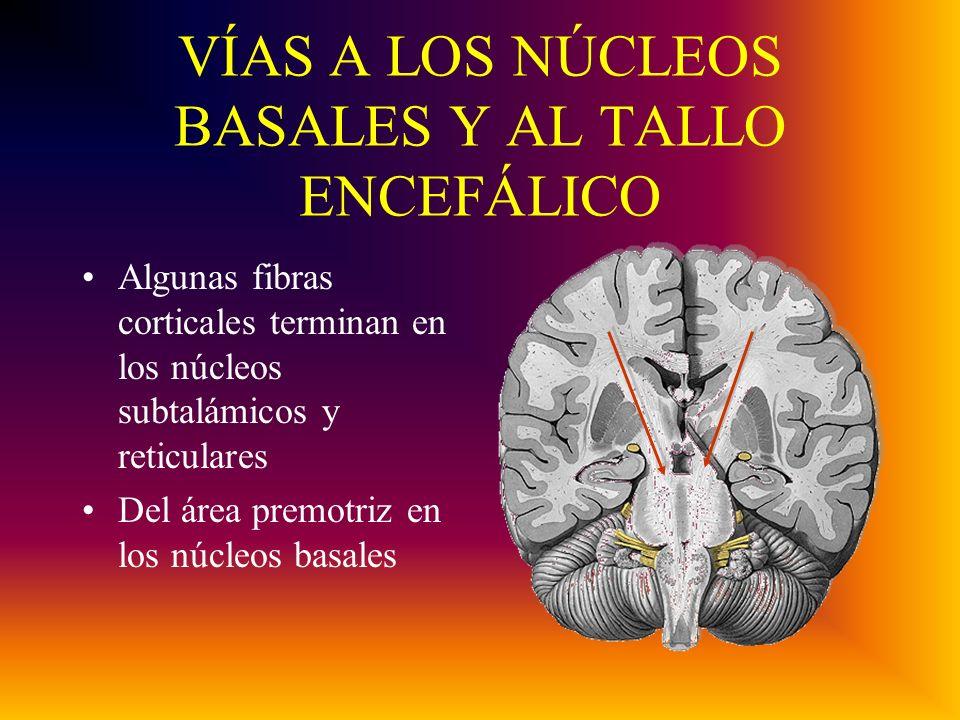 VÍAS A LOS NÚCLEOS BASALES Y AL TALLO ENCEFÁLICO Algunas fibras corticales terminan en los núcleos subtalámicos y reticulares Del área premotriz en los núcleos basales
