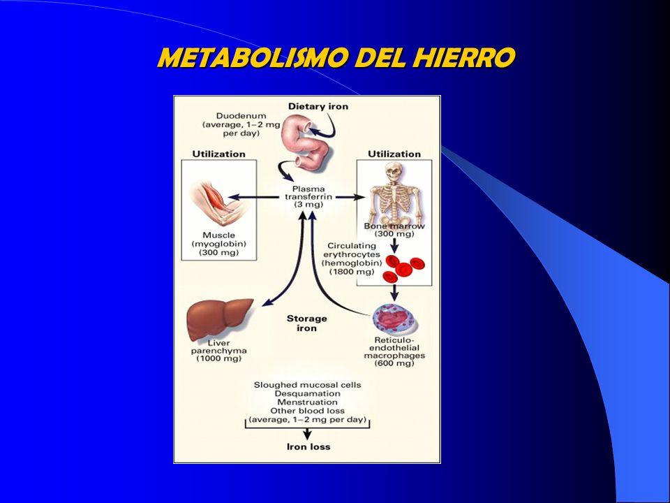 FISIOLOGÍA DEL HIERRO Hierro - Transferrina Extracelular Citosol Hierro liberado mitocondria ferritina hemosiderina Transportador de Fe apotransferrina Receptor de Tf