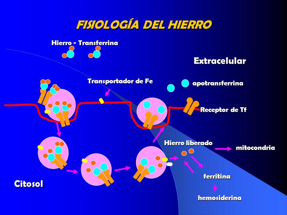 FISIOLOGÍA DEL HIERRO Hierro - Transferrina Extracelular Citosol Hierro liberado mitocondria ferritina hemosiderina Transportador de Fe apotransferrin
