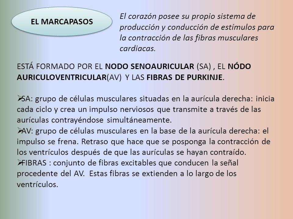 EL MARCAPASOS El corazón posee su propio sistema de producción y conducción de estímulos para la contracción de las fibras musculares cardiacas. ESTÁ