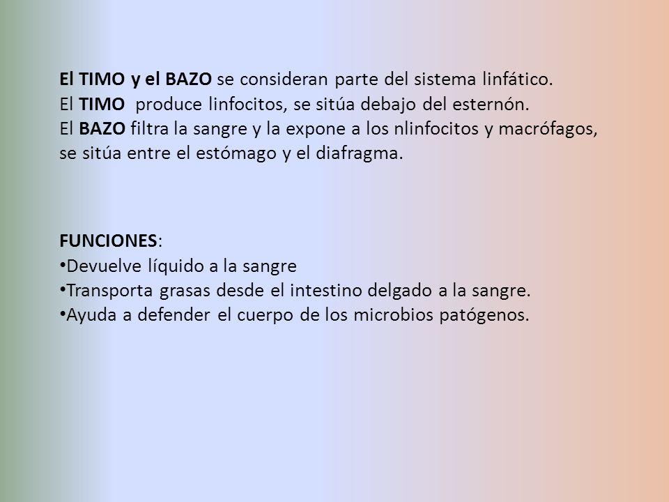 El TIMO y el BAZO se consideran parte del sistema linfático. El TIMO produce linfocitos, se sitúa debajo del esternón. El BAZO filtra la sangre y la e