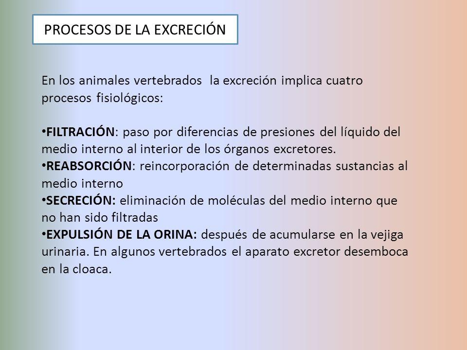 PROCESOS DE LA EXCRECIÓN En los animales vertebrados la excreción implica cuatro procesos fisiológicos: FILTRACIÓN: paso por diferencias de presiones