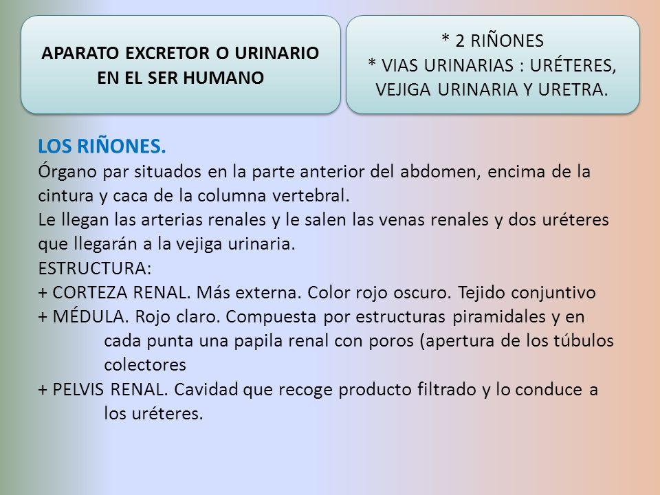 APARATO EXCRETOR O URINARIO EN EL SER HUMANO * 2 RIÑONES * VIAS URINARIAS : URÉTERES, VEJIGA URINARIA Y URETRA. * 2 RIÑONES * VIAS URINARIAS : URÉTERE