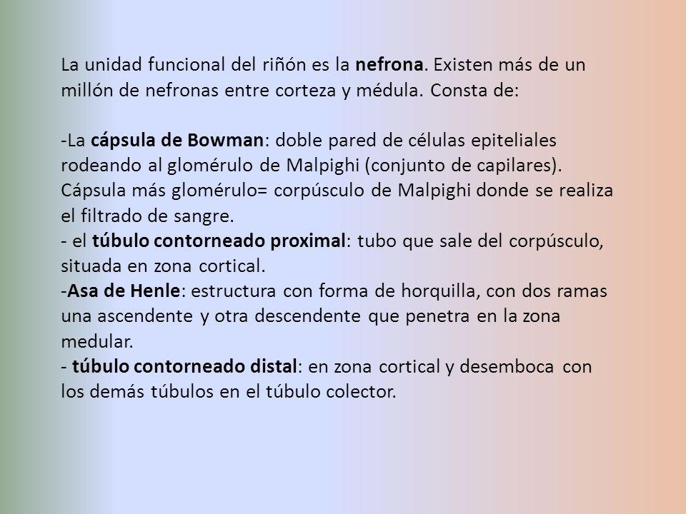 La unidad funcional del riñón es la nefrona. Existen más de un millón de nefronas entre corteza y médula. Consta de: -La cápsula de Bowman: doble pare