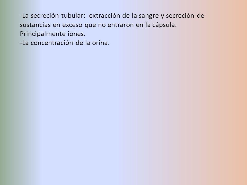 -La secreción tubular: extracción de la sangre y secreción de sustancias en exceso que no entraron en la cápsula. Principalmente iones. -La concentrac