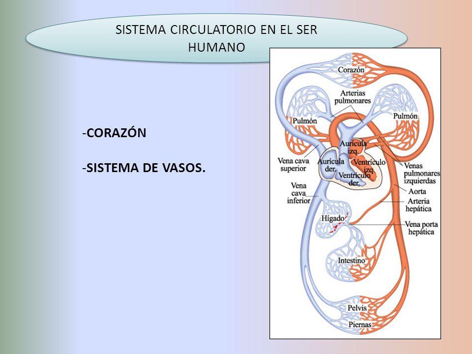 SISTEMA CIRCULATORIO EN EL SER HUMANO -CORAZÓN -SISTEMA DE VASOS.