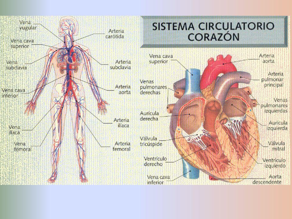 VÁLVULAS Función: mantener la dirección del flujo sanguíneo.