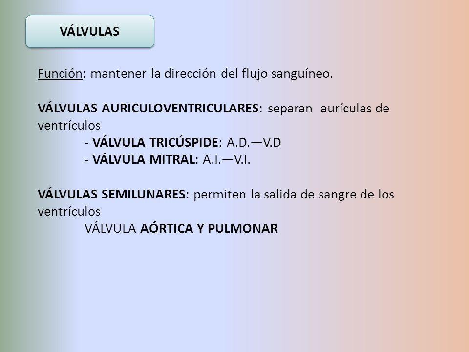 VÁLVULAS Función: mantener la dirección del flujo sanguíneo. VÁLVULAS AURICULOVENTRICULARES: separan aurículas de ventrículos - VÁLVULA TRICÚSPIDE: A.