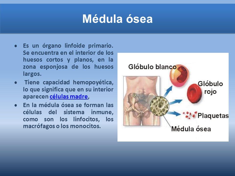 Médula ósea Es un órgano linfoide primario.