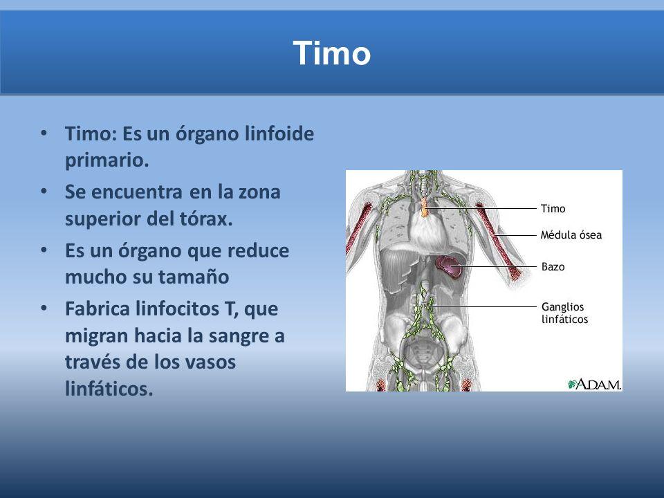 Timo Timo: Es un órgano linfoide primario.Se encuentra en la zona superior del tórax.