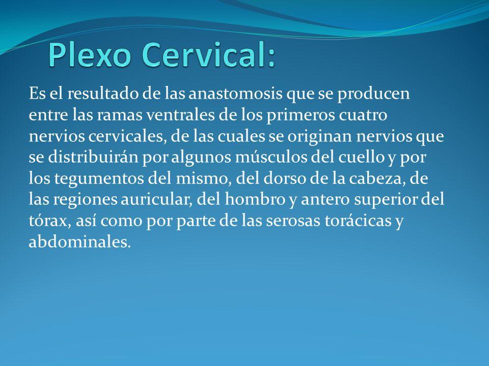 Fascículos: Fascículo lateral (C5-C7) Nervio pectoral lateral Nervio musculocutáneo Raíz lateral del nervio mediano Fascículo medial (C8 y T1) Nervio pectoral medial Nervio cutáneo medial del brazo Nervio cutáneo medial del antebrazo Nervio ulnar o cubital (C7) Raíz medial del nervio mediano Fascículo posterior Nervio subescapular superior (C5 y C6) Nervio toracodorsal (C6-C8) Nervio subescapular inferior (C5 y C6) Nervio axilar (C5 y C6) Nervio radial(C5-C8 (T1))