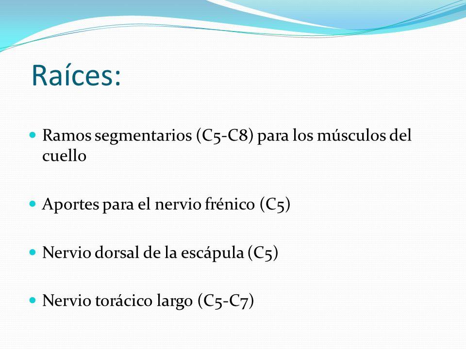 Raíces: Ramos segmentarios (C5-C8) para los músculos del cuello Aportes para el nervio frénico (C5) Nervio dorsal de la escápula (C5) Nervio torácico