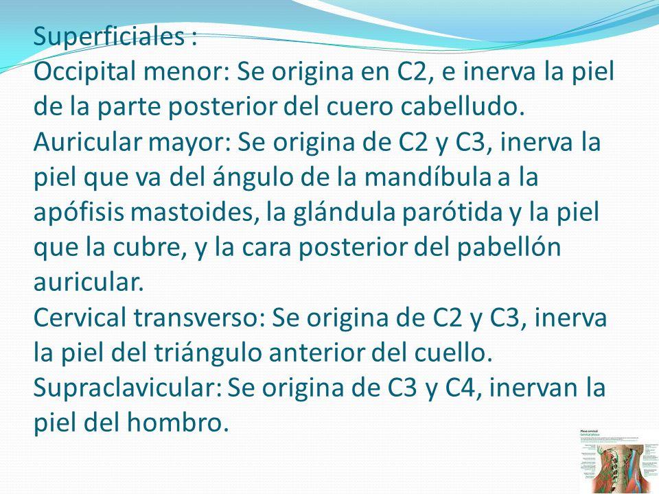 Profundos Asa cervical: Se origina por ramos de C1, C2 y C3, inerva los músculos infrahioideos del triángulo anterior del cuello Frénico: Se origina principalmente de C4 pero tiene ramos de C3 y C5, da la totalidad de la inervación motora del diafragma y la sensibilidad de su porción central