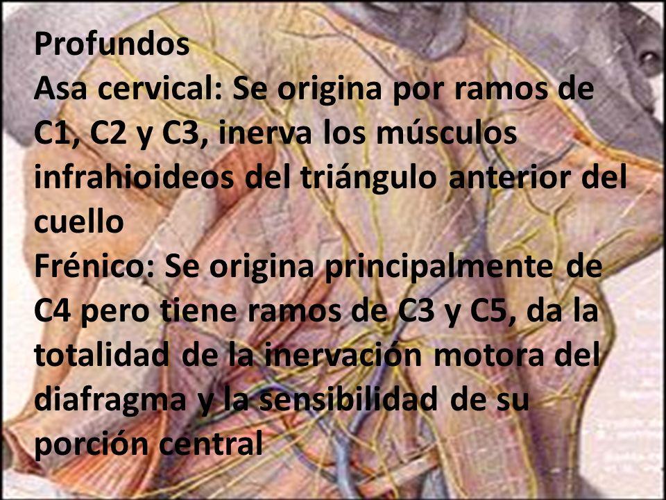 Profundos Asa cervical: Se origina por ramos de C1, C2 y C3, inerva los músculos infrahioideos del triángulo anterior del cuello Frénico: Se origina p