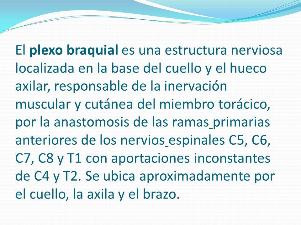 Función El plexo braquial es responsable de la inervación muscular y cutánea del miembro superior, con la excepción del músculo trapecio que es inervado por el nervio accesorio espinal, y un área de la piel cercana a la axila inervada por el nervio intercostobraquial.