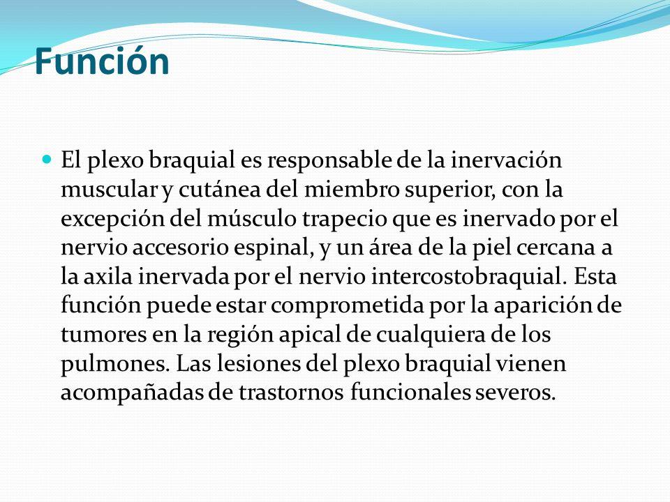 Función El plexo braquial es responsable de la inervación muscular y cutánea del miembro superior, con la excepción del músculo trapecio que es inerva