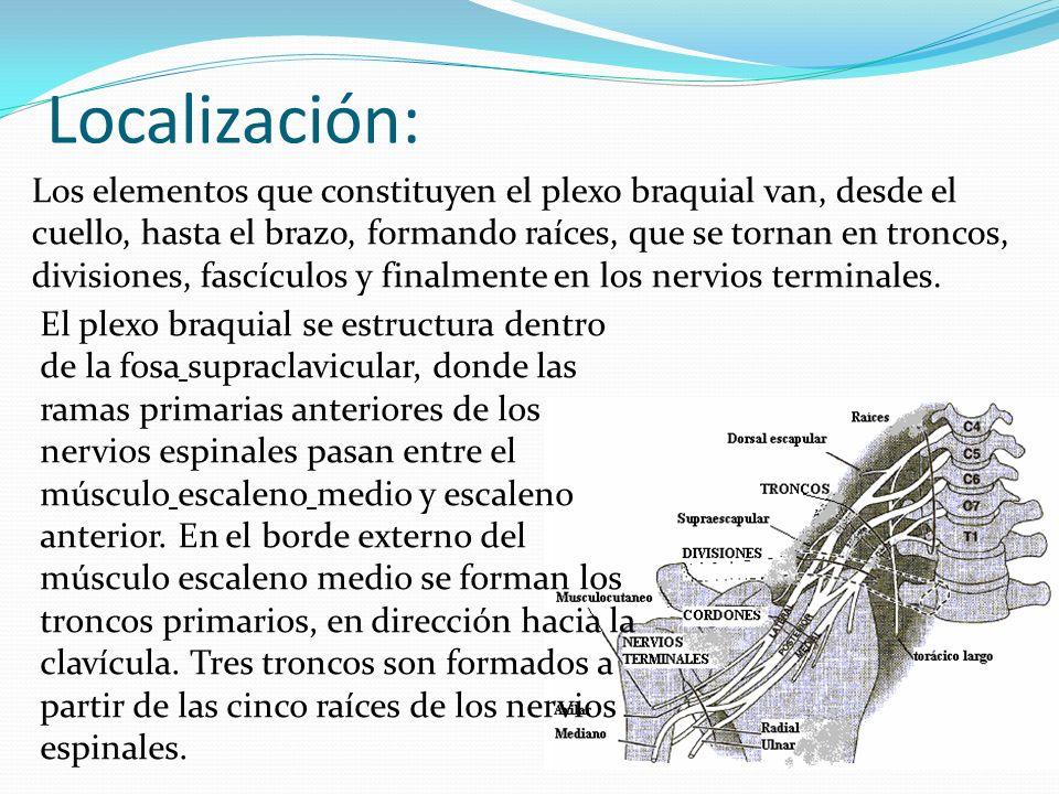 Localización: Los elementos que constituyen el plexo braquial van, desde el cuello, hasta el brazo, formando raíces, que se tornan en troncos, divisio