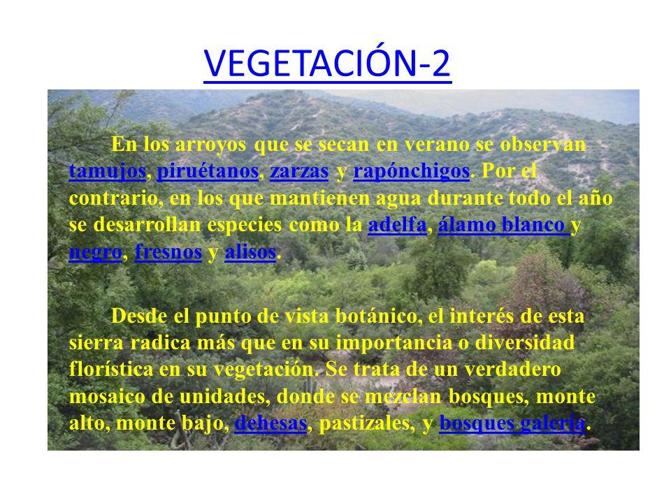VEGETACIÓN-2 En los arroyos que se secan en verano se observan tamujos, piruétanos, zarzas y rapónchigos. Por el contrario, en los que mantienen agua