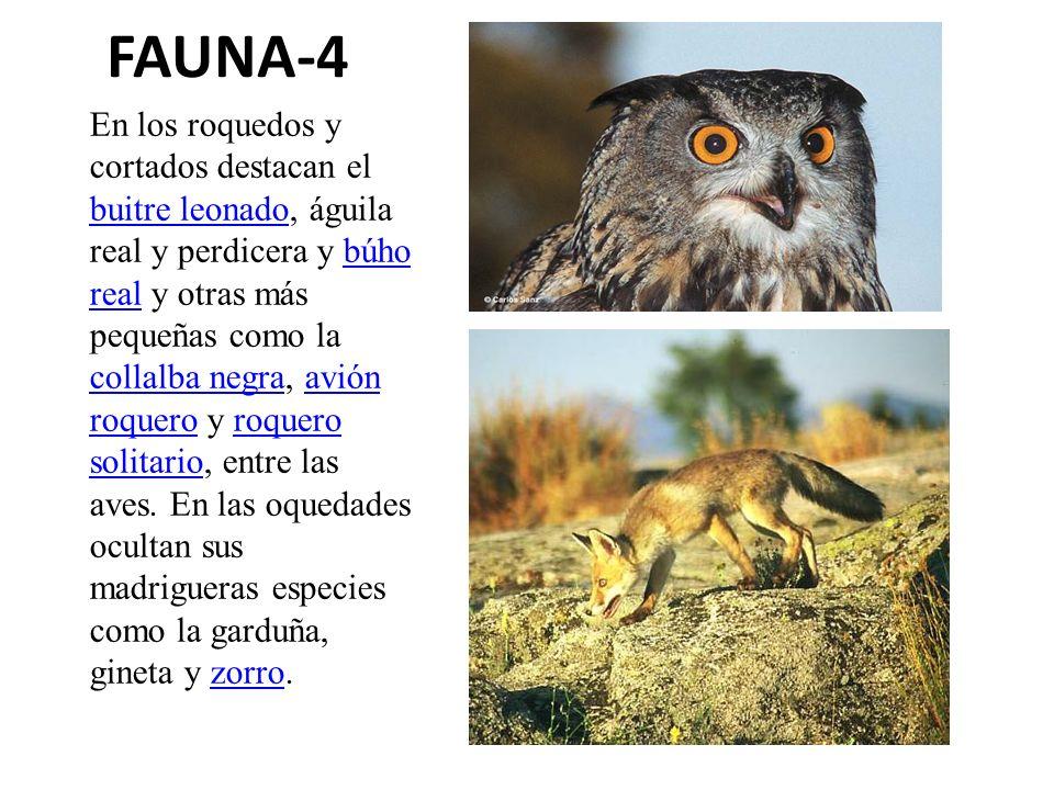 FAUNA-4 En los roquedos y cortados destacan el buitre leonado, águila real y perdicera y búho real y otras más pequeñas como la collalba negra, avión
