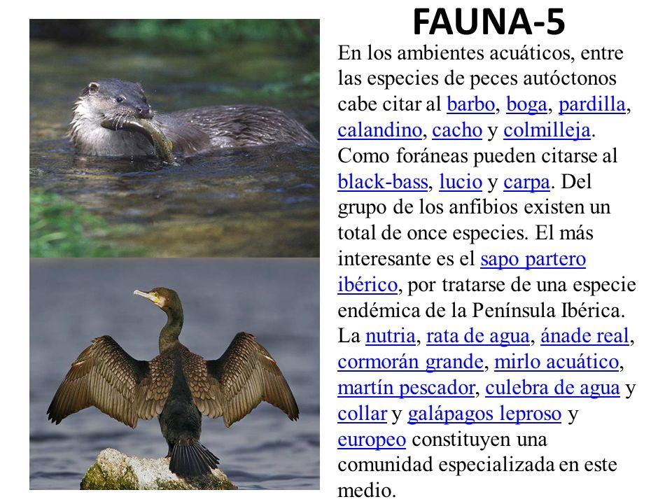 FAUNA-5 En los ambientes acuáticos, entre las especies de peces autóctonos cabe citar al barbo, boga, pardilla, calandino, cacho y colmilleja. Como fo