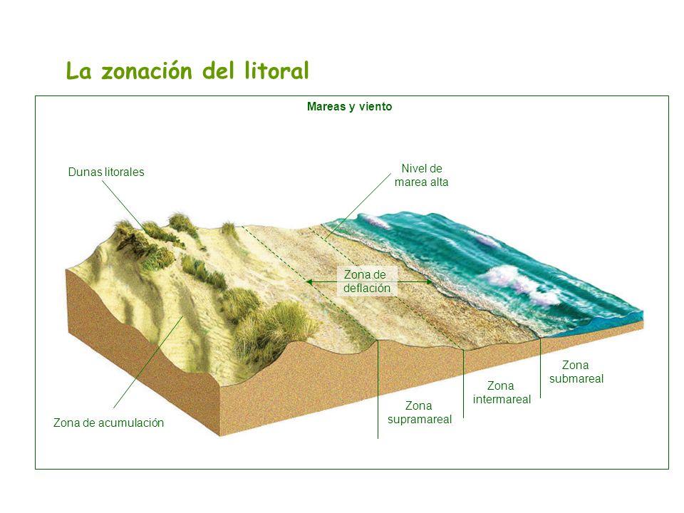 La zonación del litoral Mareas y viento Dunas litorales Zona de acumulación Zona supramareal Zona intermareal Zona submareal Zona de deflación Nivel d