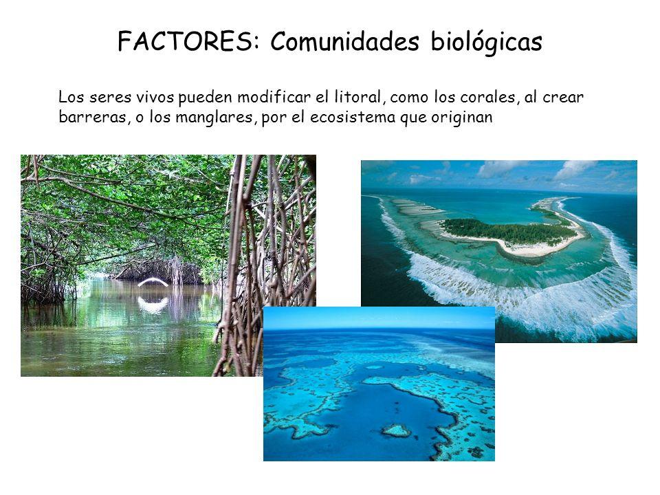 FACTORES: Comunidades biológicas Los seres vivos pueden modificar el litoral, como los corales, al crear barreras, o los manglares, por el ecosistema