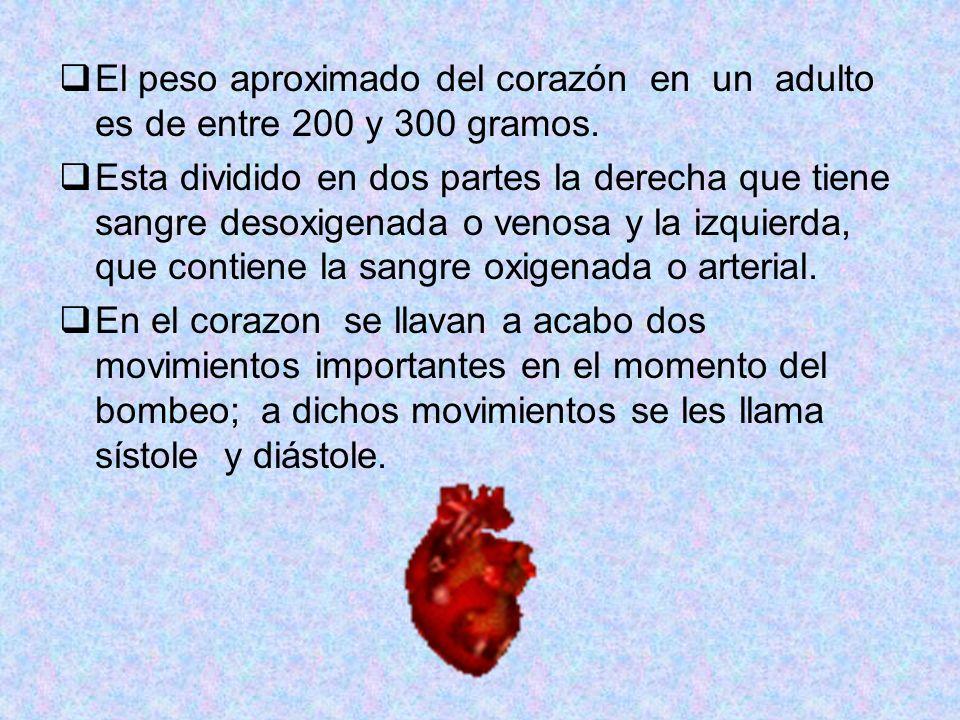 El peso aproximado del corazón en un adulto es de entre 200 y 300 gramos. Esta dividido en dos partes la derecha que tiene sangre desoxigenada o venos