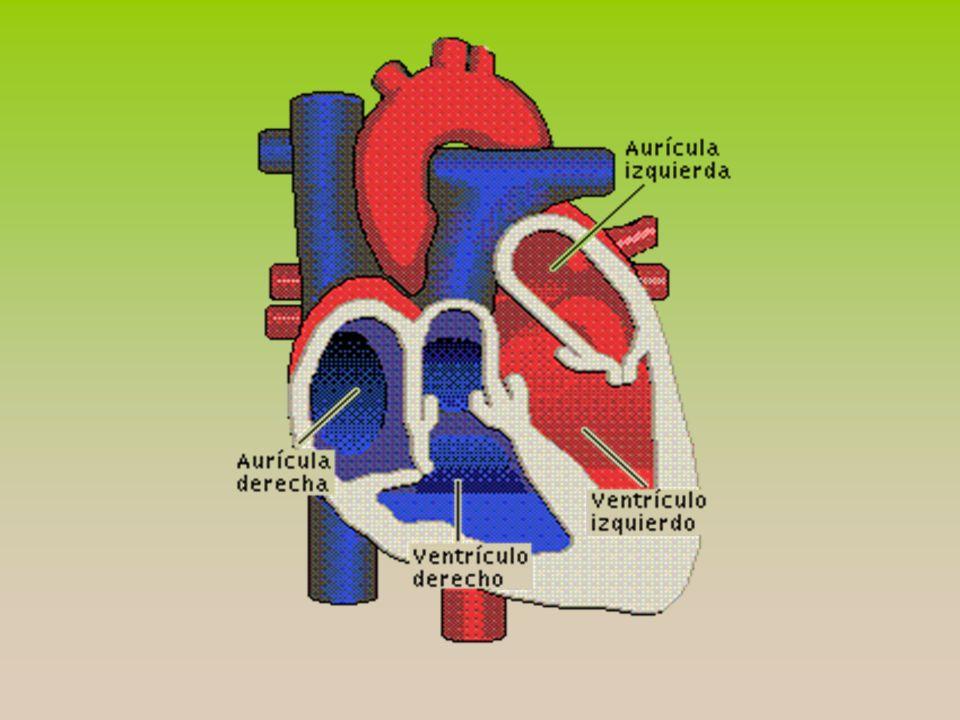 El tejido muscular es mas abundante en el ventrículo izquierdo, que debe de ejercer el trabajo para suministrar la sangre a todo el organismo; un poco menos de tejido muscular al ventrículo derecho pues se limita a suministrar solo a la circulación pulmonar.