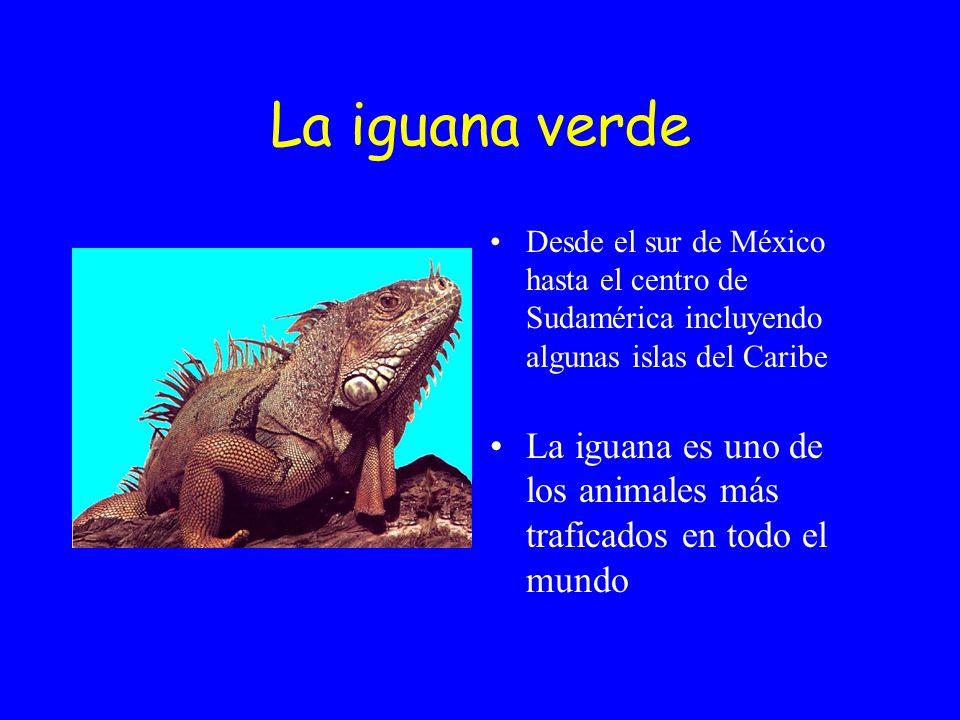 La iguana verde Desde el sur de México hasta el centro de Sudamérica incluyendo algunas islas del Caribe La iguana es uno de los animales más traficados en todo el mundo