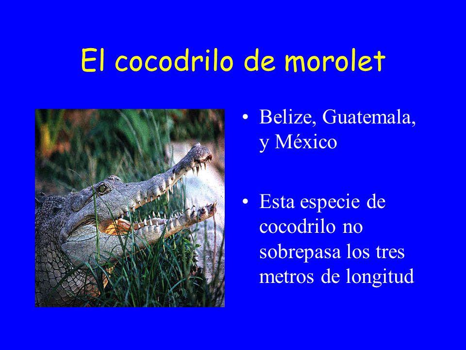 El cocodrilo de morolet Belize, Guatemala, y México Esta especie de cocodrilo no sobrepasa los tres metros de longitud