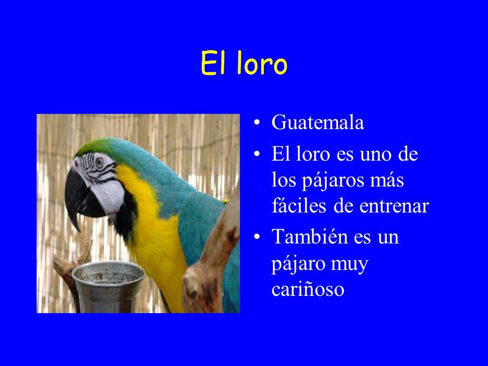 El loro Guatemala El loro es uno de los pájaros más fáciles de entrenar También es un pájaro muy cariñoso