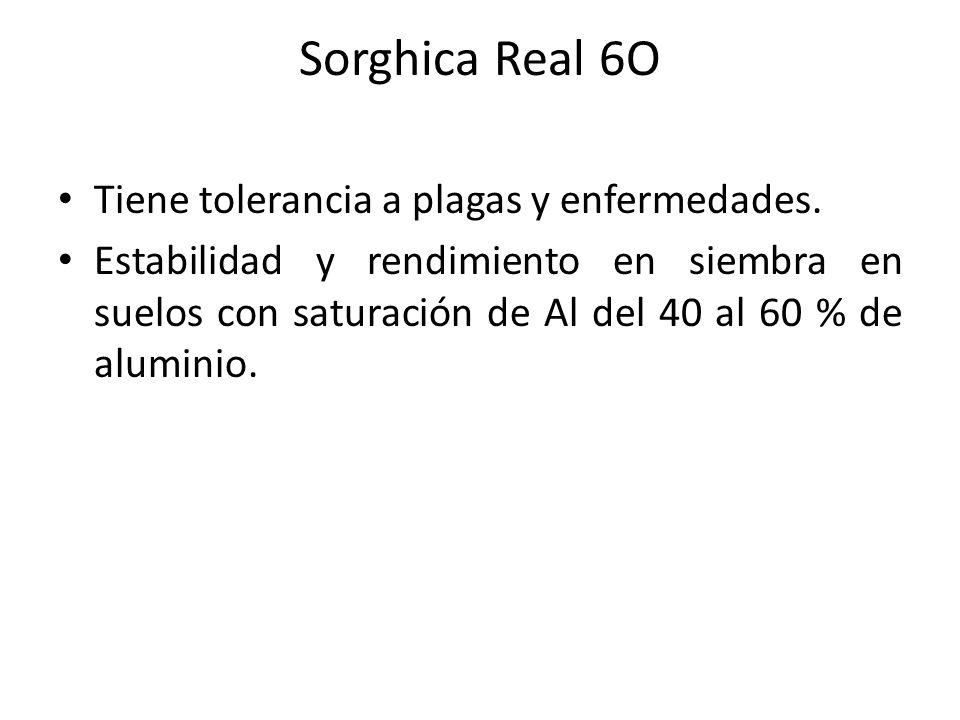 Sorghica Real 6O Tiene tolerancia a plagas y enfermedades.