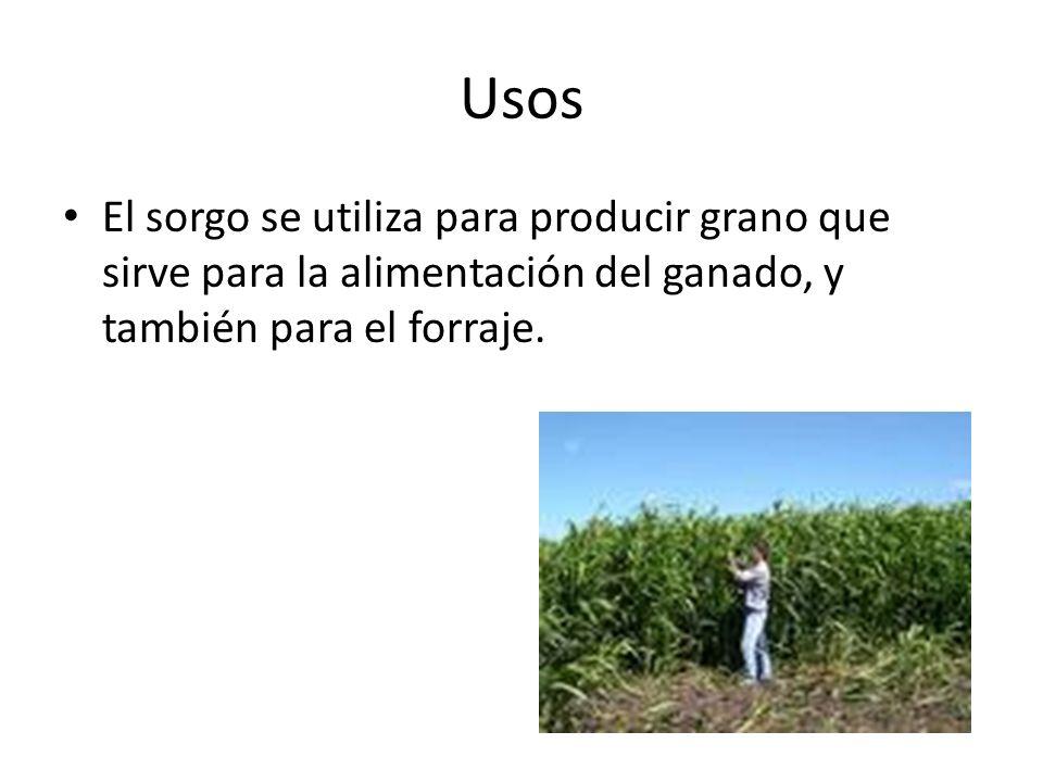 Usos El sorgo se utiliza para producir grano que sirve para la alimentación del ganado, y también para el forraje.